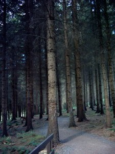 Rosemoor woodland walk - very tall trees
