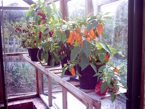 Chilli plants in a hot house