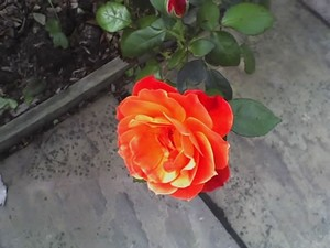 A fiery orange rose bloom